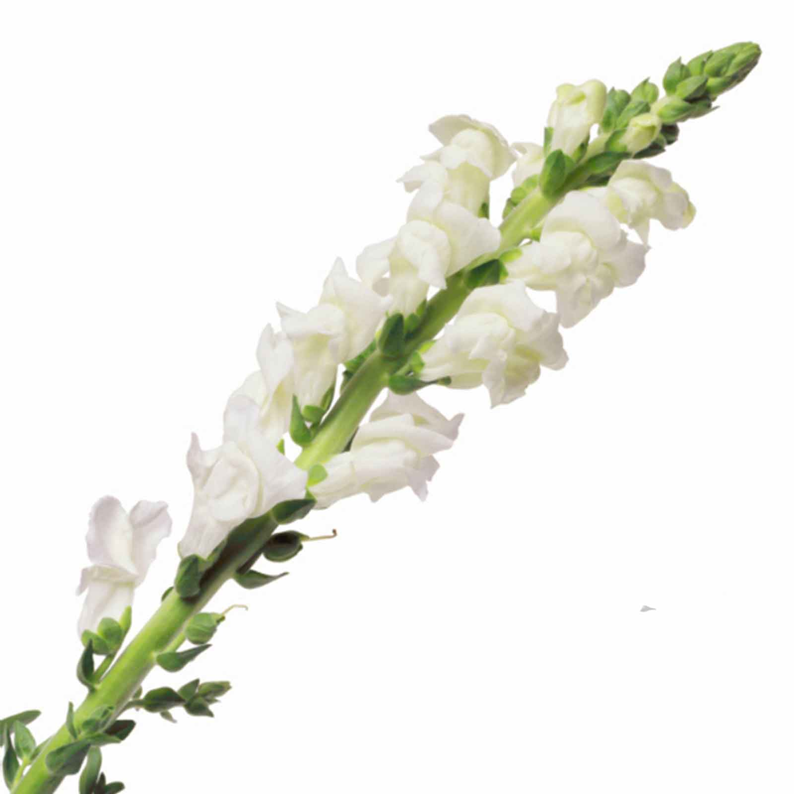 Snapdragon flower seeds liberty classic 1000 seeds white snapdragon flower seeds liberty classic 1000 seeds white garden mightylinksfo