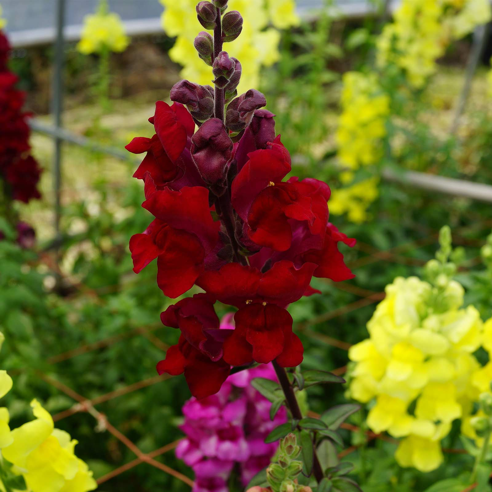 Snapdragon Flower Seeds Sonnet Series F1 Burgundy Annual Garden