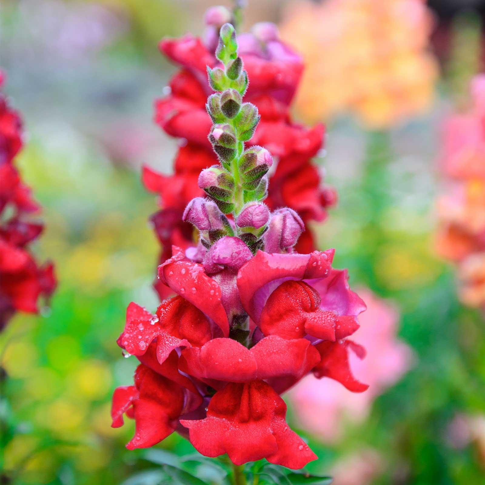 Snapdragon Flower Seeds Sonnet Series F1 Carmine Annual Garden