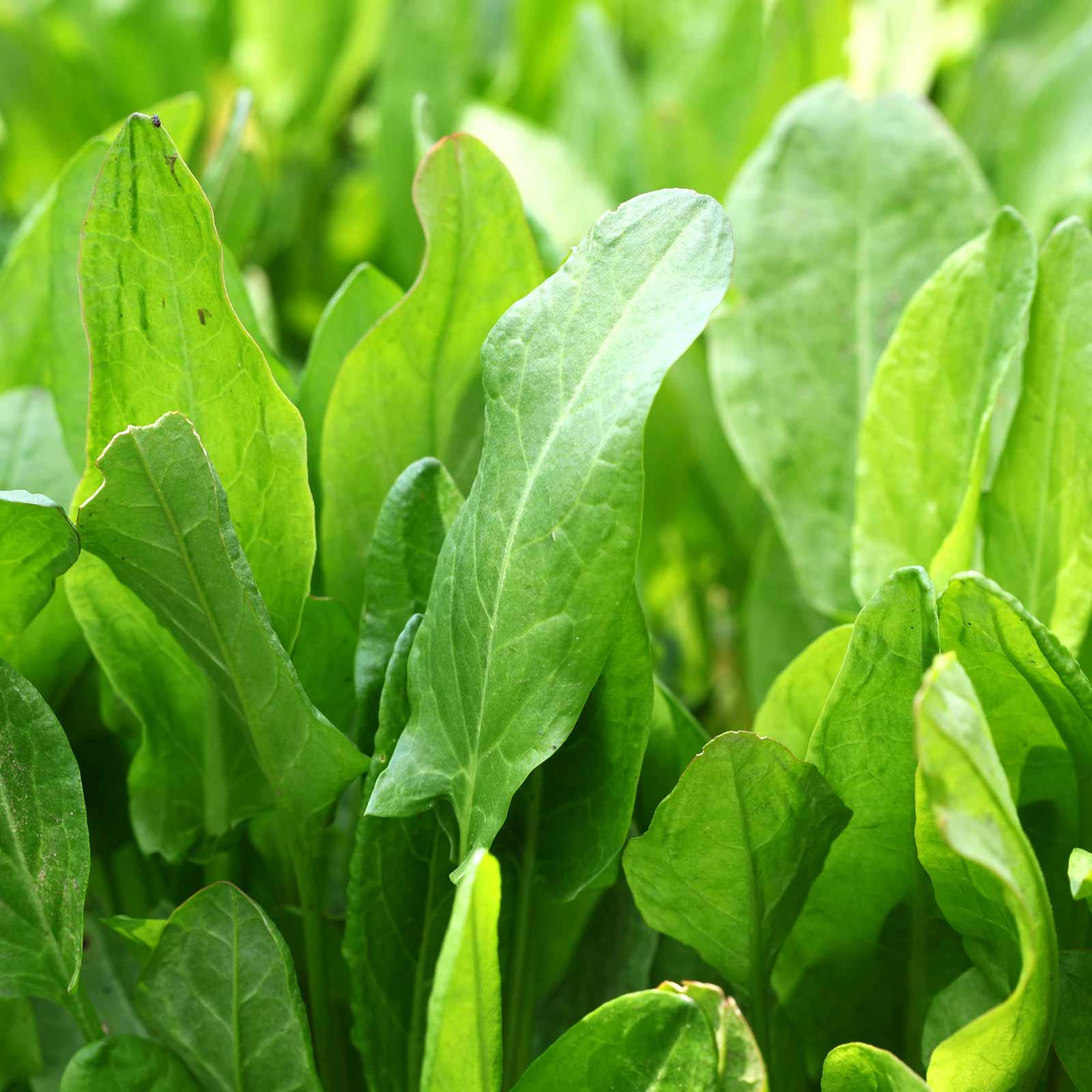 Bulk herbs wholesale - Microgreens Seeds Large Leaf Sorrel 1 Lb Bulk Wholesale Micro Herbs