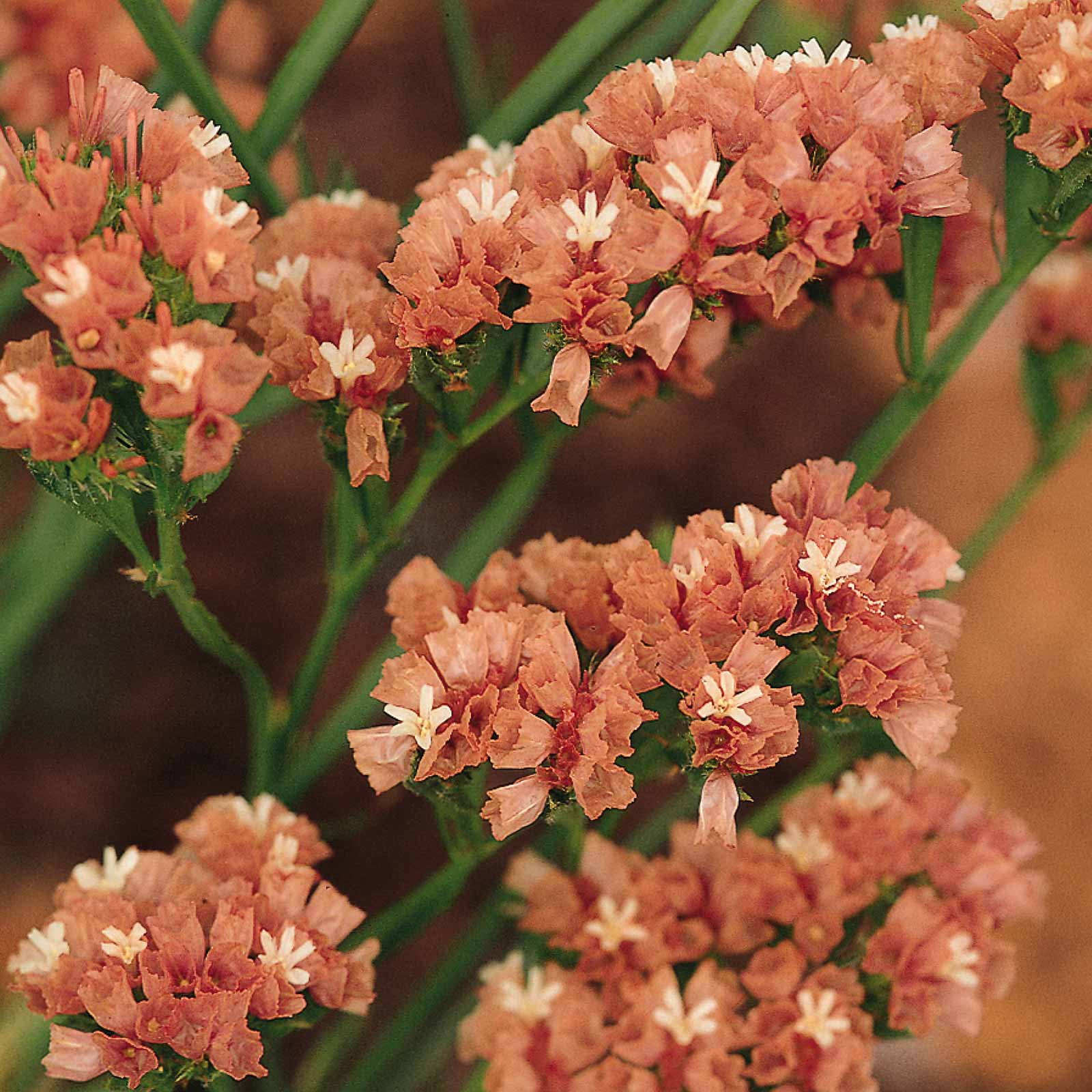 Statice Flower Garden Seeds Qis Series Apricot 1000 Seeds Annual