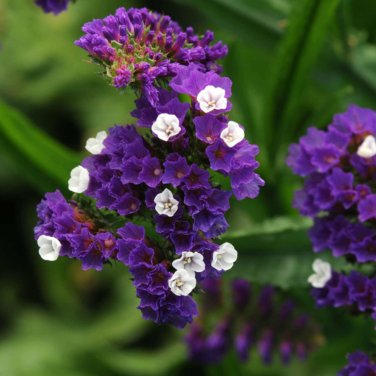 Flower Cool Wave Violet Wing F1-200 Seeds Bulk Pansy