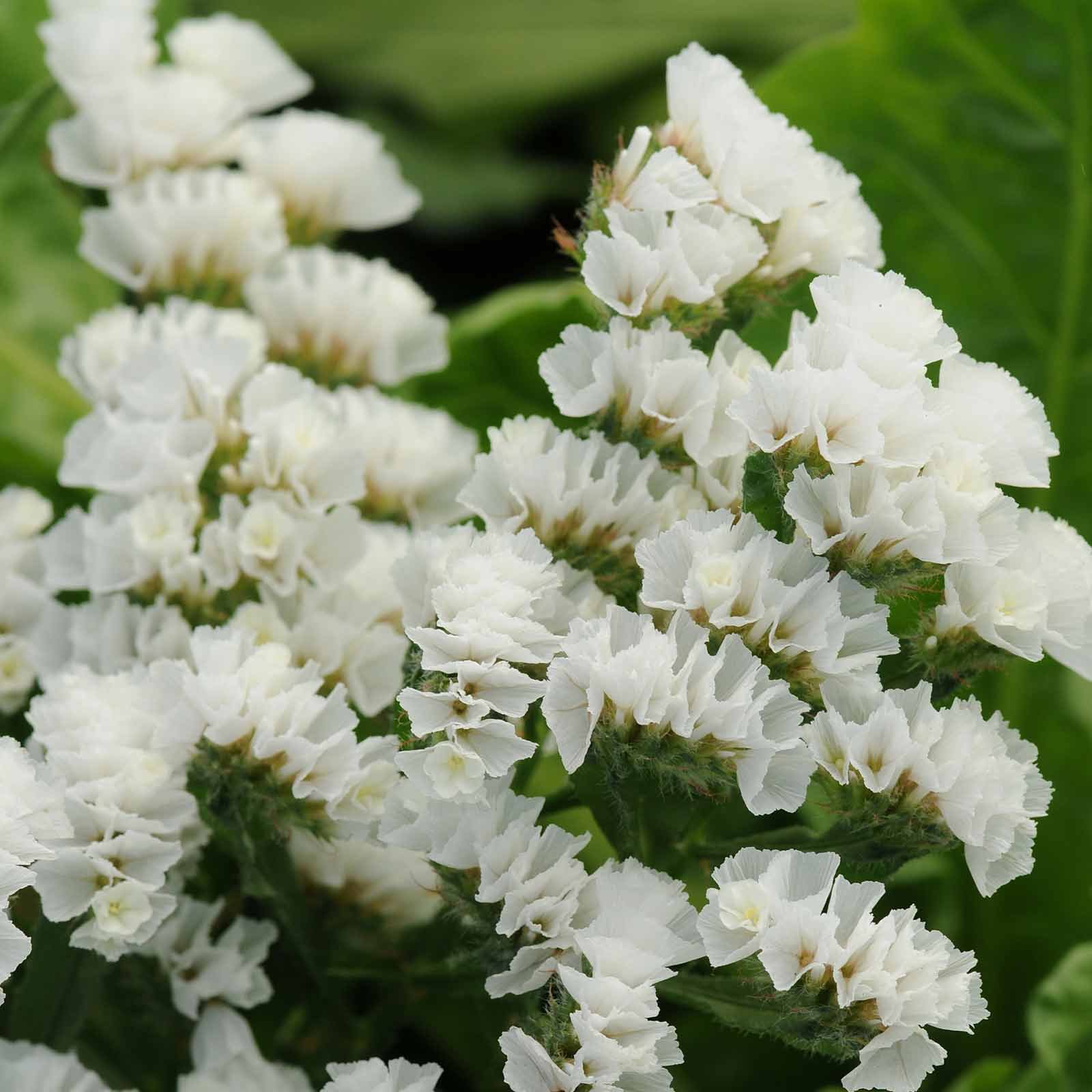 Statice Flower Garden Seeds Qis Series White 1000 Seeds