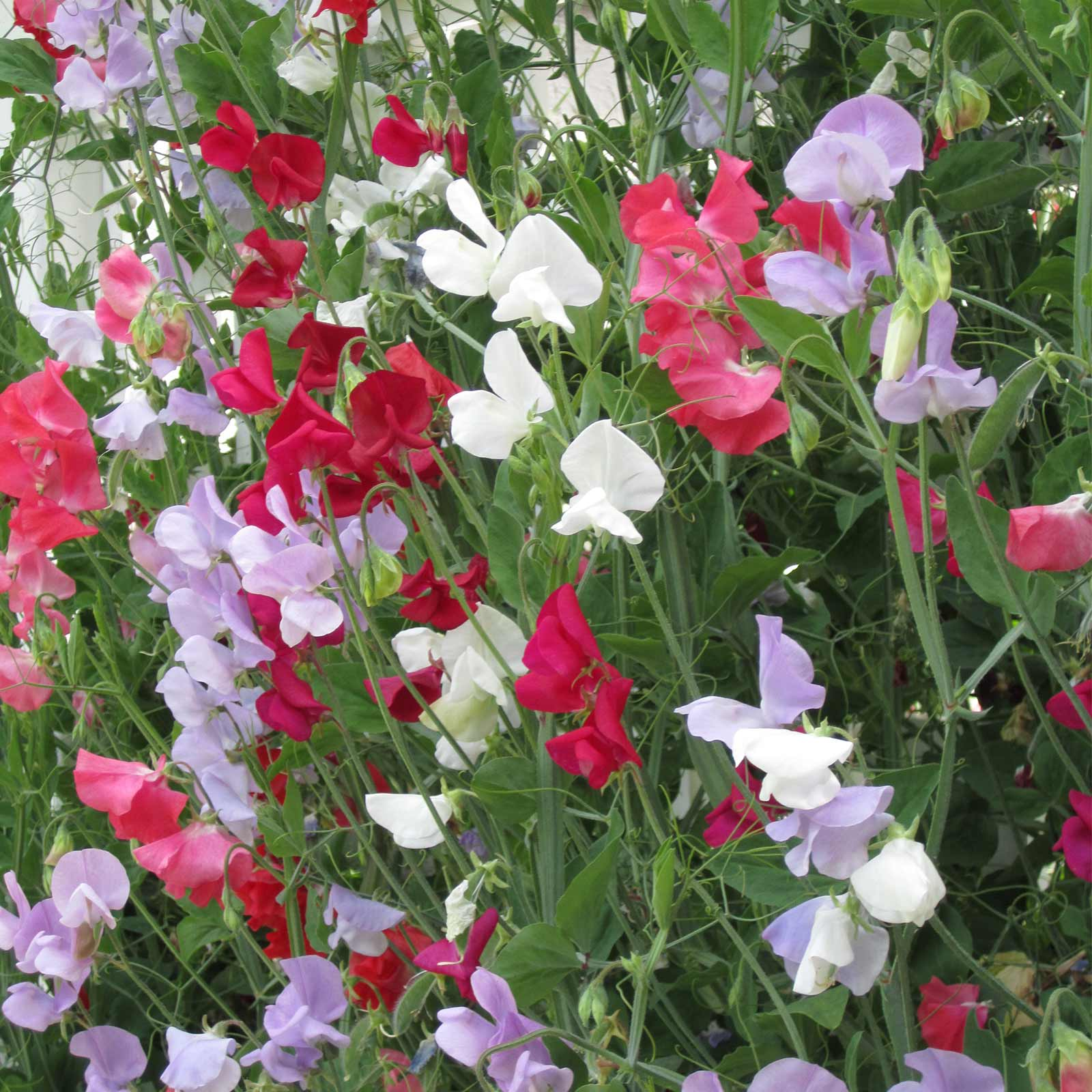 Sweet Pea Flower Garden Seeds Everlasting 4 Oz Perennial Vine