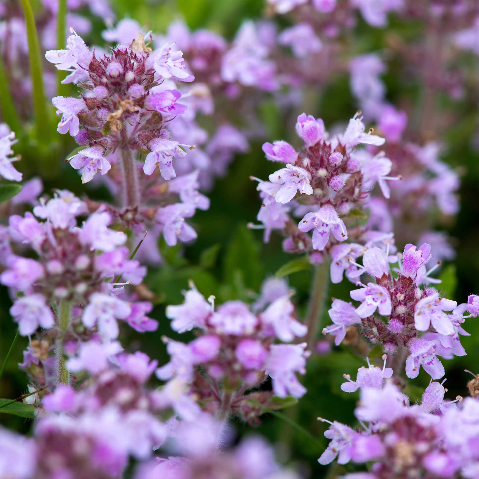 Creeping Thyme Flower Seeds 1 Lb Bulk Perennial Flower Gardening