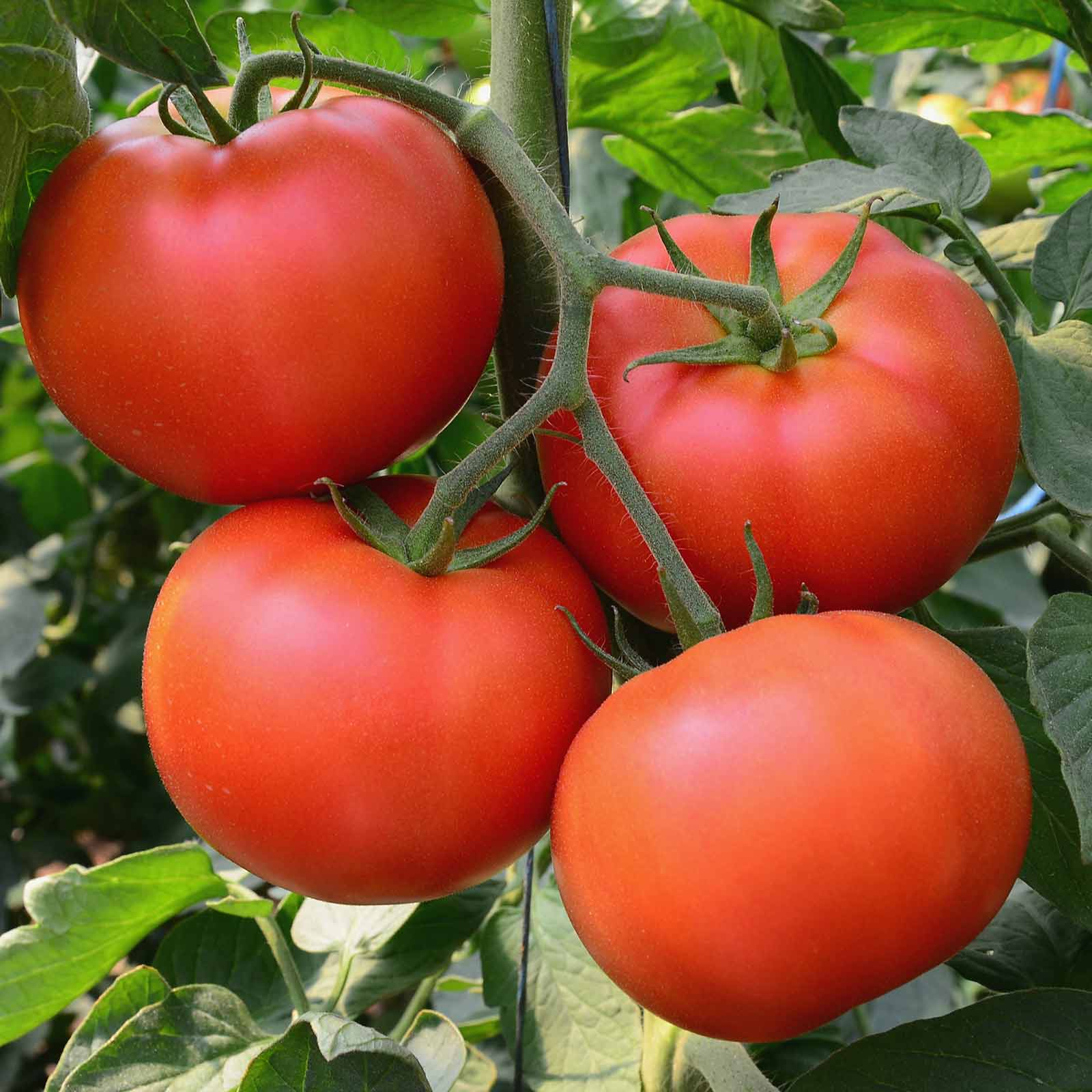 cherry lump delight sugar aka gardeners tomato month the garden of