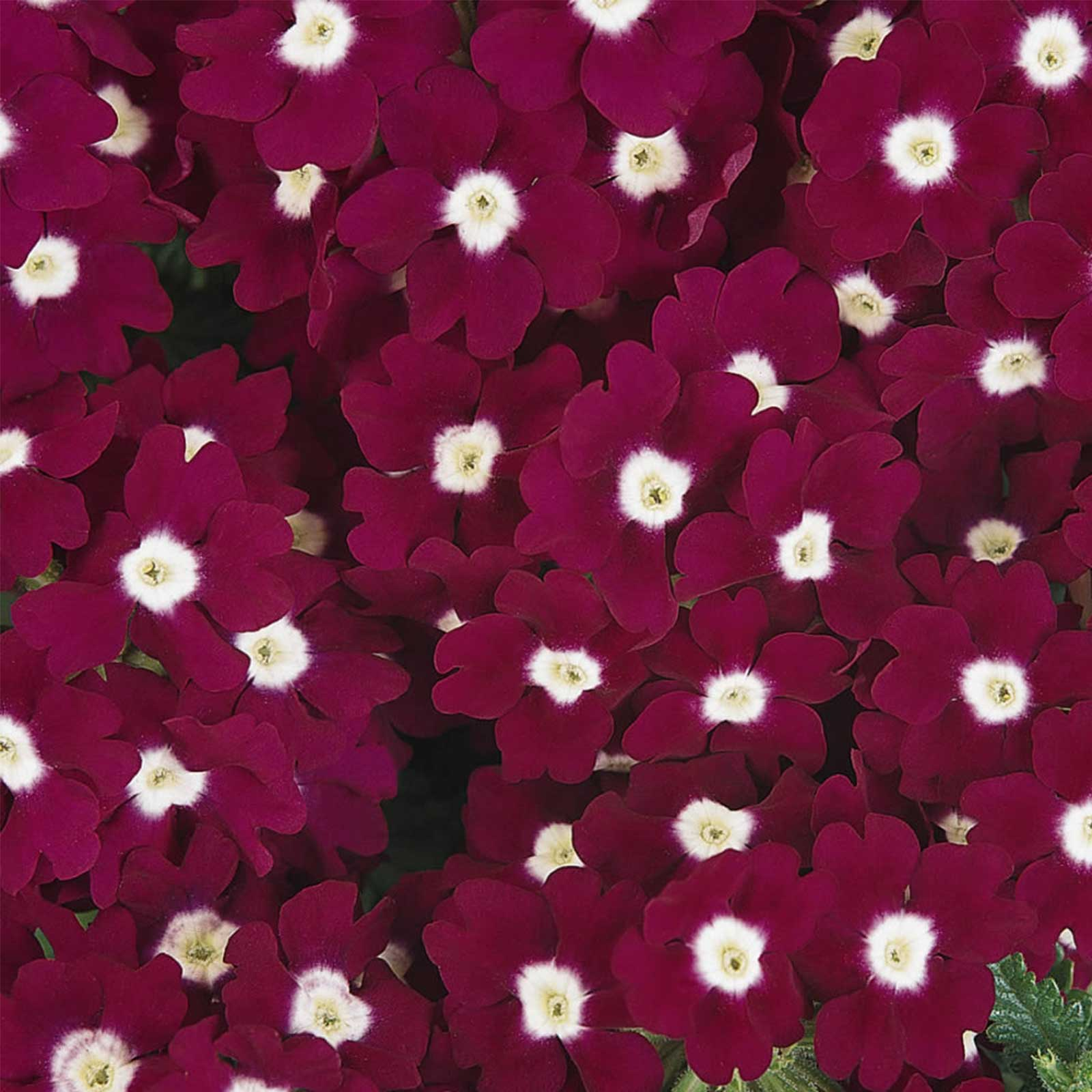 Verbena flower garden seeds quartz xp burgundy eye 1000 seed verbana x hybrida aas winner for 1999 bedding plant award winner deep wine red color with small white eye is a unique feature of this verbena izmirmasajfo