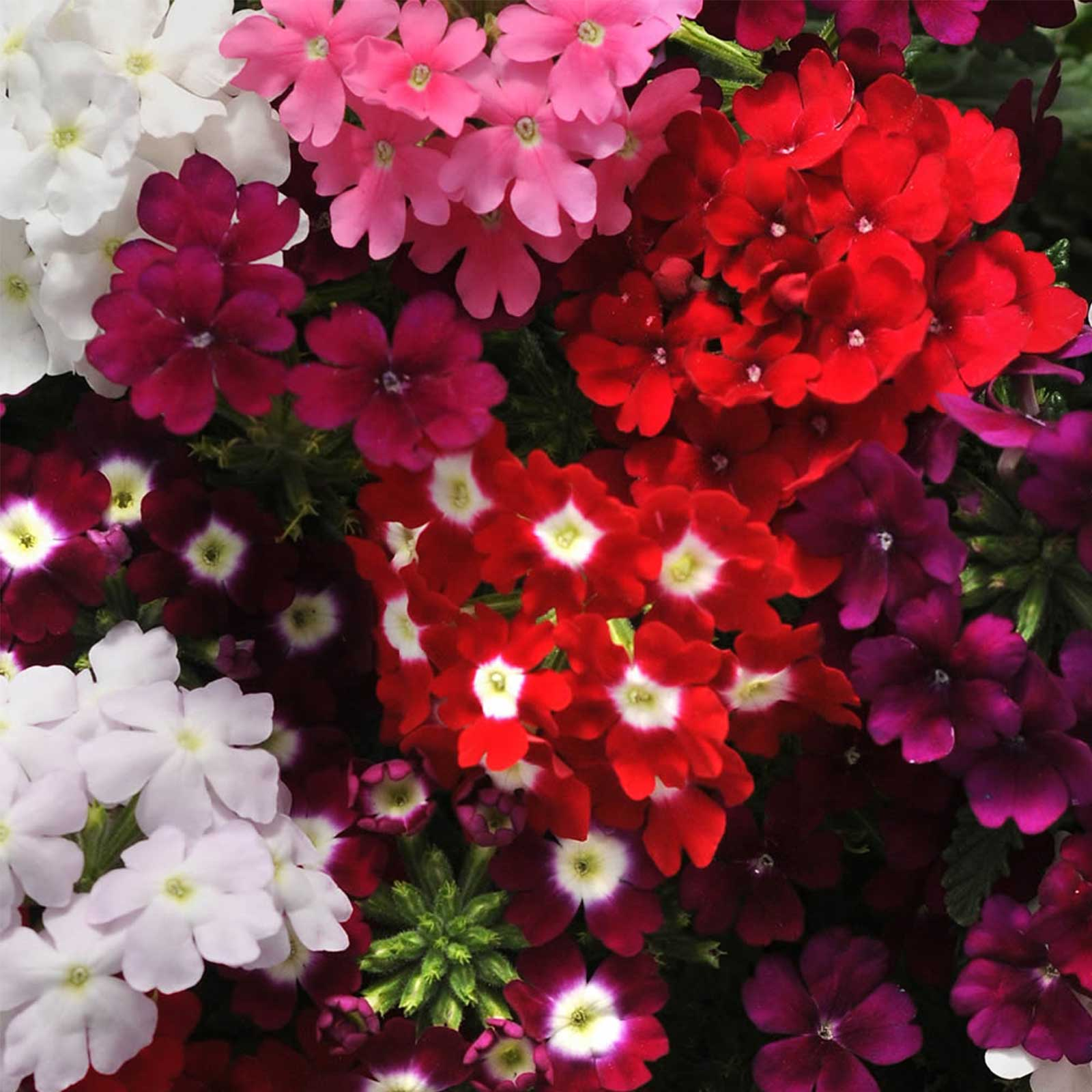 Verbena Flower Garden Seeds Quartz Xp Series Color Mix 1000