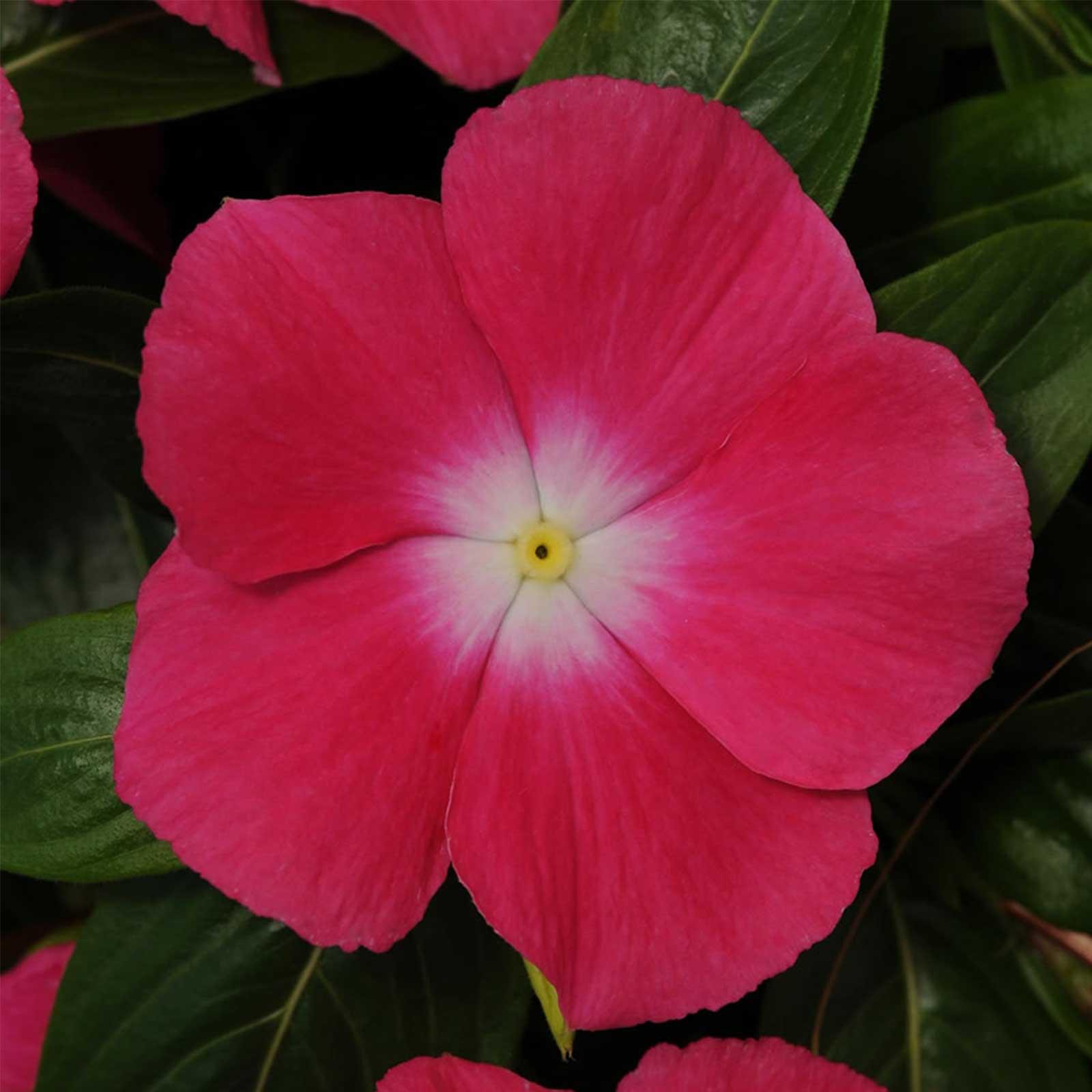 Vinca Flower Garden Seeds Mediterranean Xp Rose Halo 100 Seeds