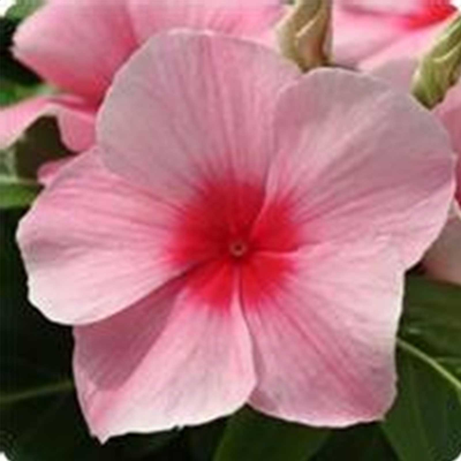 Vinca Flower Garden Seeds – Mediterranean XP – Strawberry – 100 ...