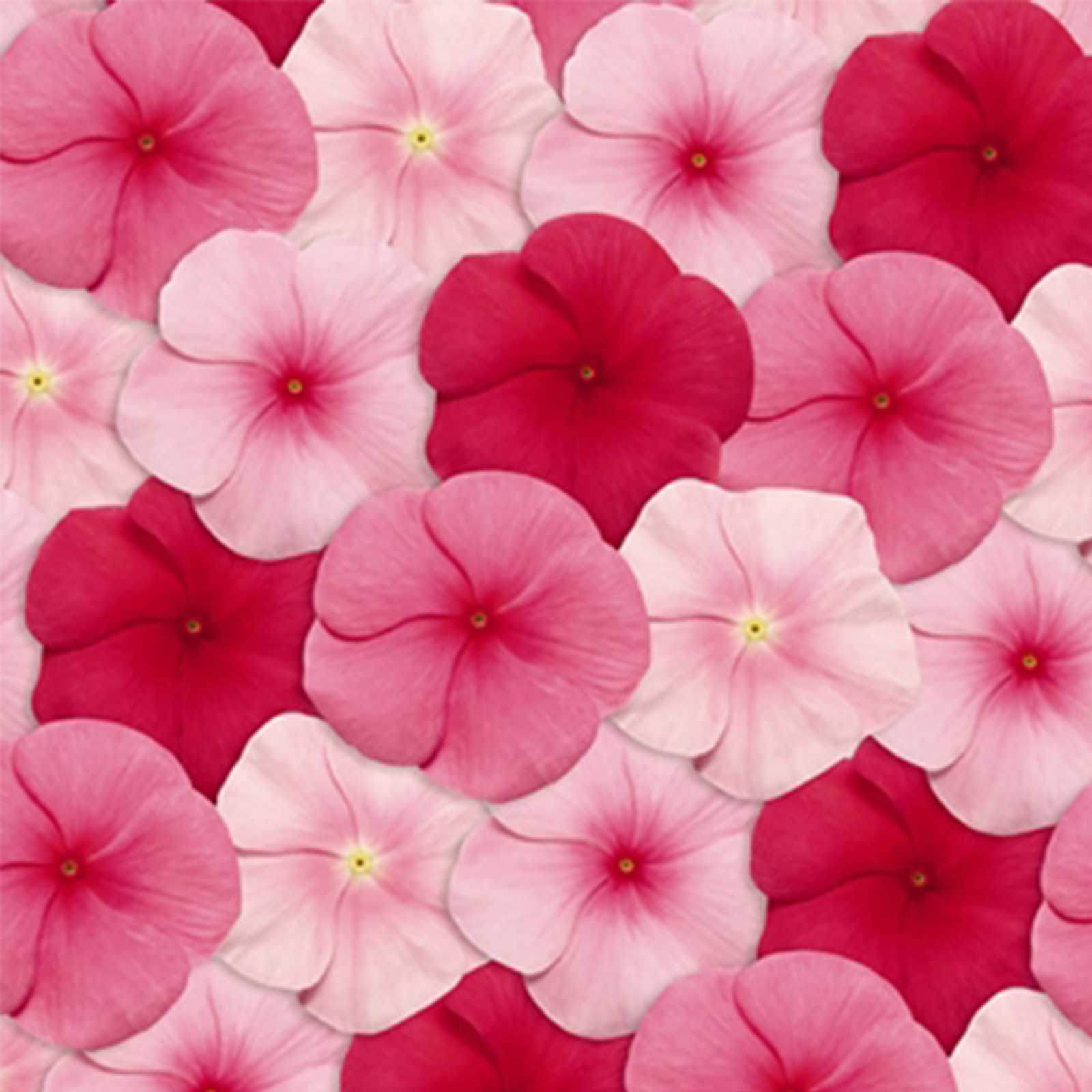 Vinca Flower Garden Seeds Pacifica Xp Lipstick Mix 1000 Seed Annual