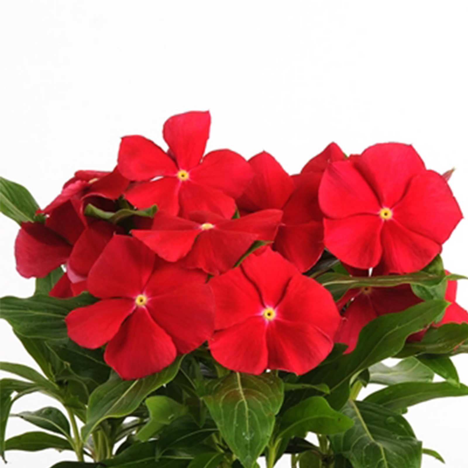 Vinca Flower Garden Seeds Pacifica Xp Really Red 1000 Seed Annual