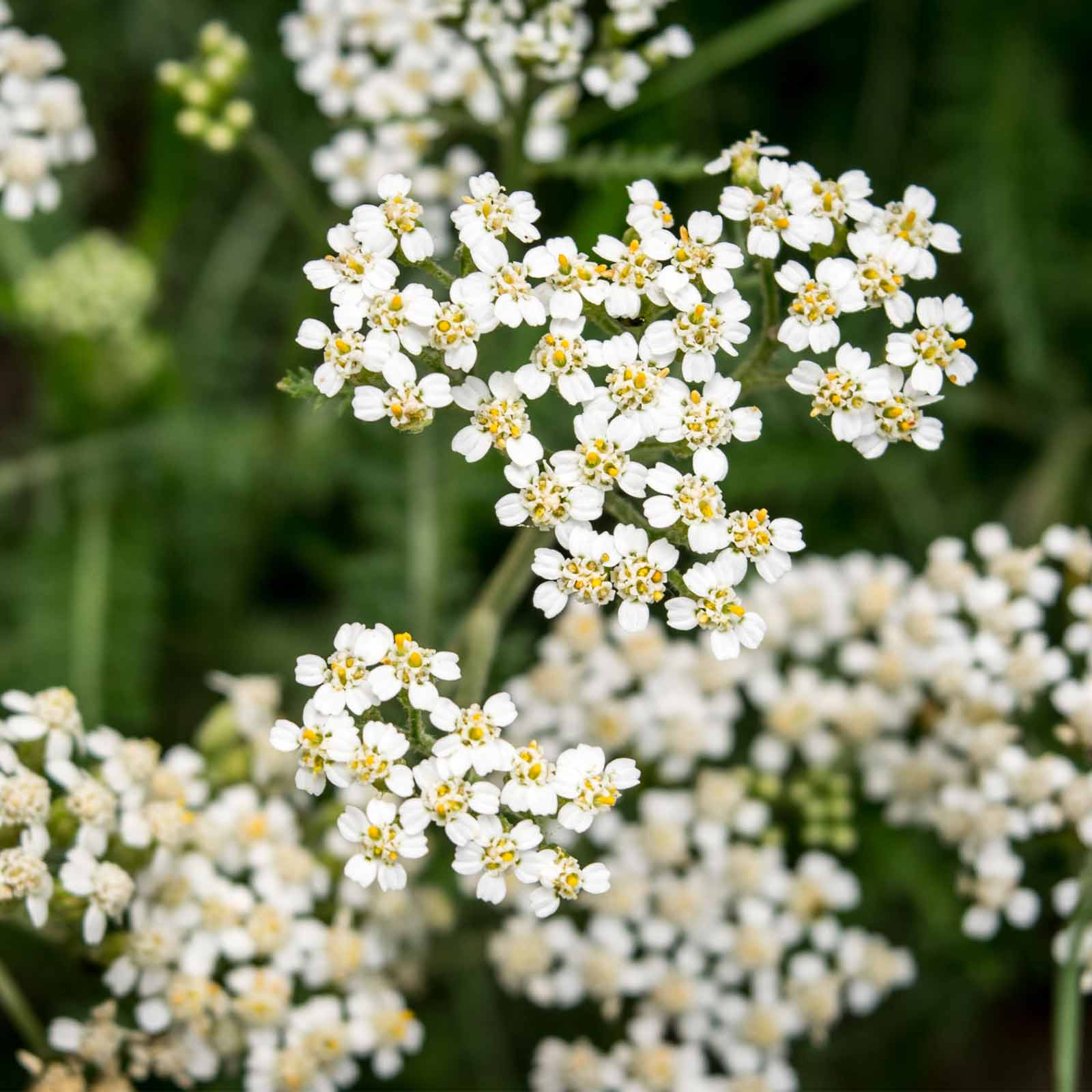 Golden Yarrow Wildflower Garden Herb Seeds 1 Oz Perennial
