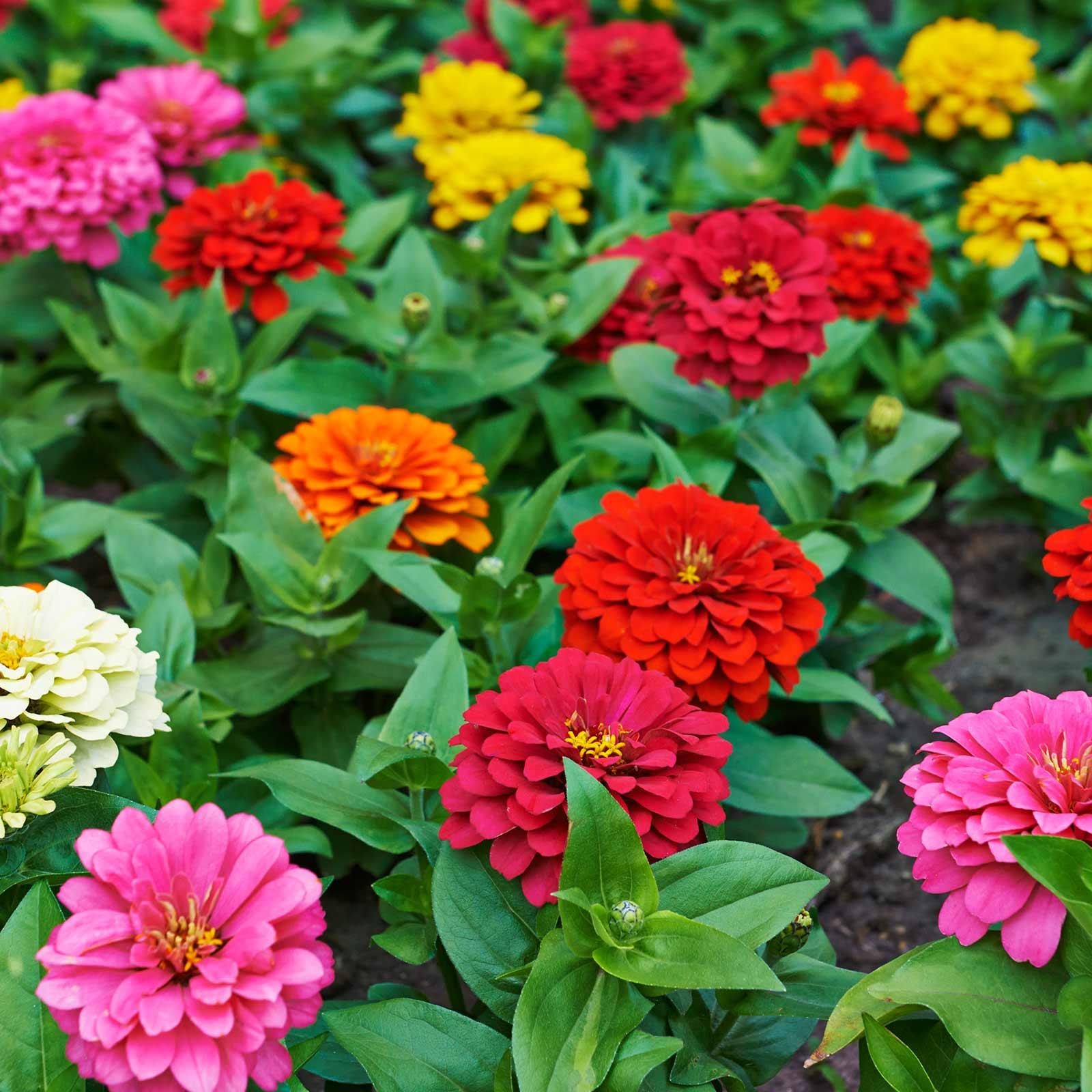 Zinnia Flower Garden Seeds Dahlia Flowered Mix 4 Oz Annual Gardening