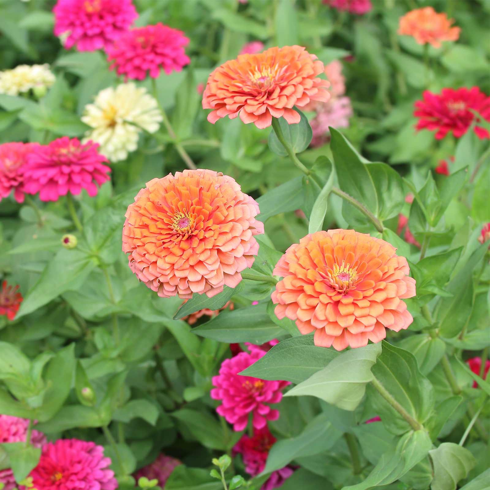 Zinnia Flower Garden Seeds Dreamland Mixture Orange 100