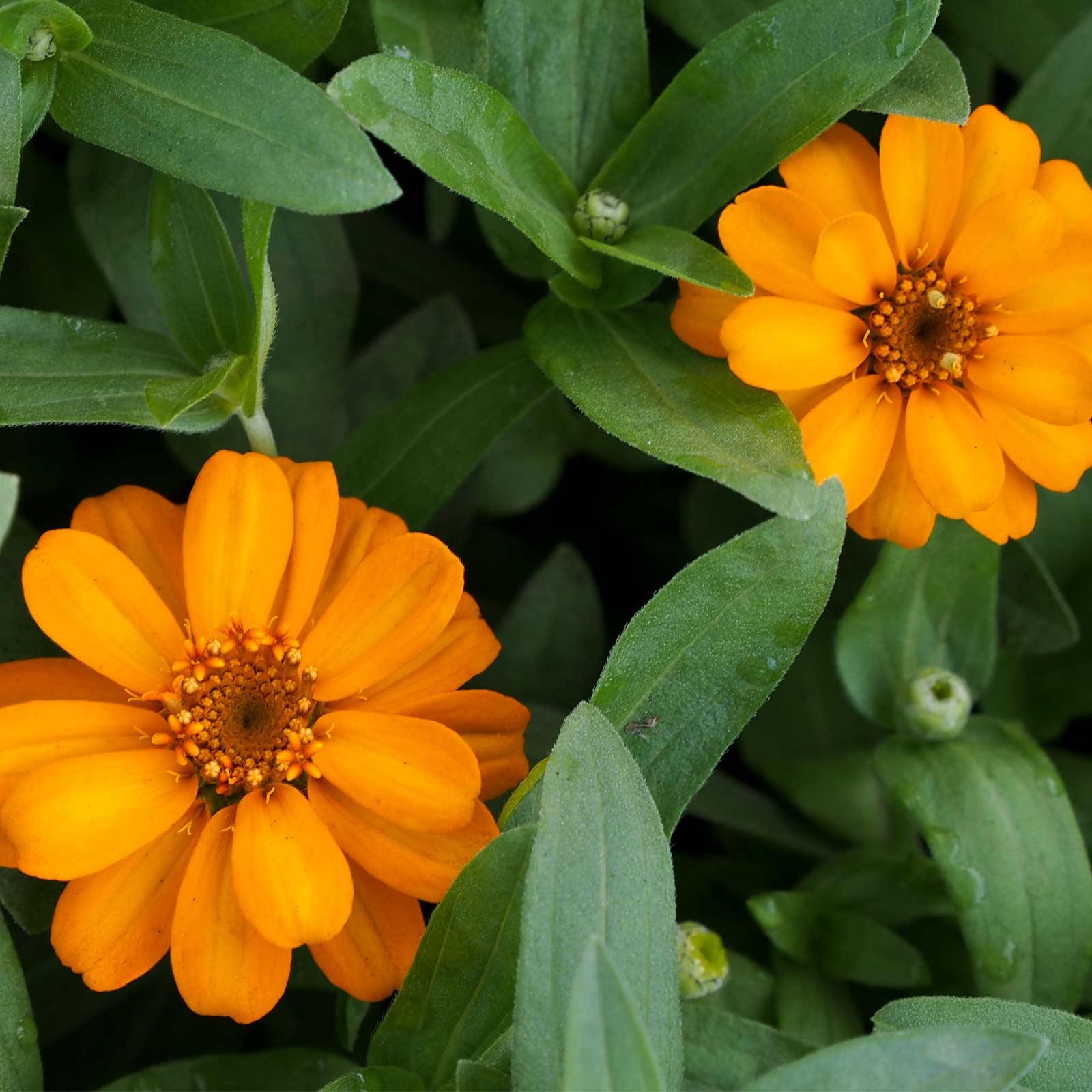Zinnia Flower Garden Seeds Profusion Series Orange 100 Seed Annual