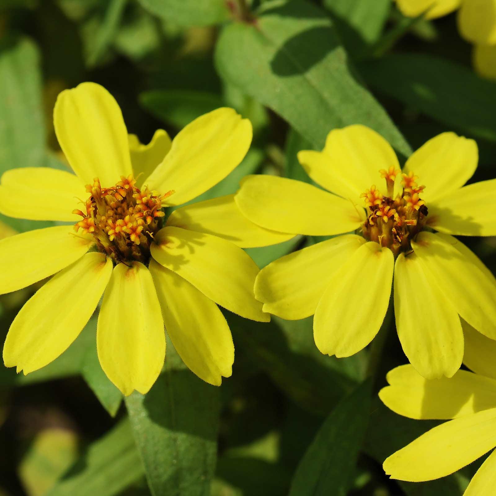 Zinnia Flower Garden Seeds Profusion Series Yellow 100 Seed