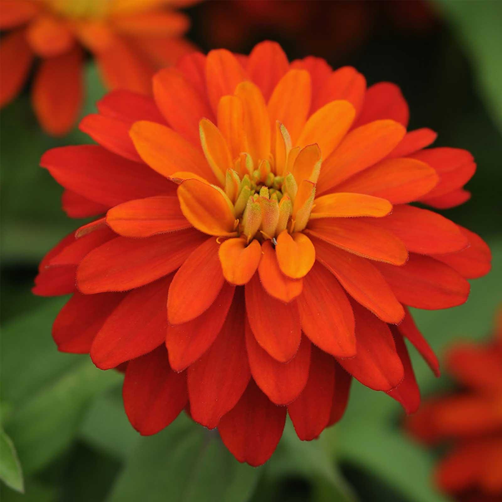 Zinnia Flower Garden Seeds – Zahara Series – Double Fire – 100 Seeds ...