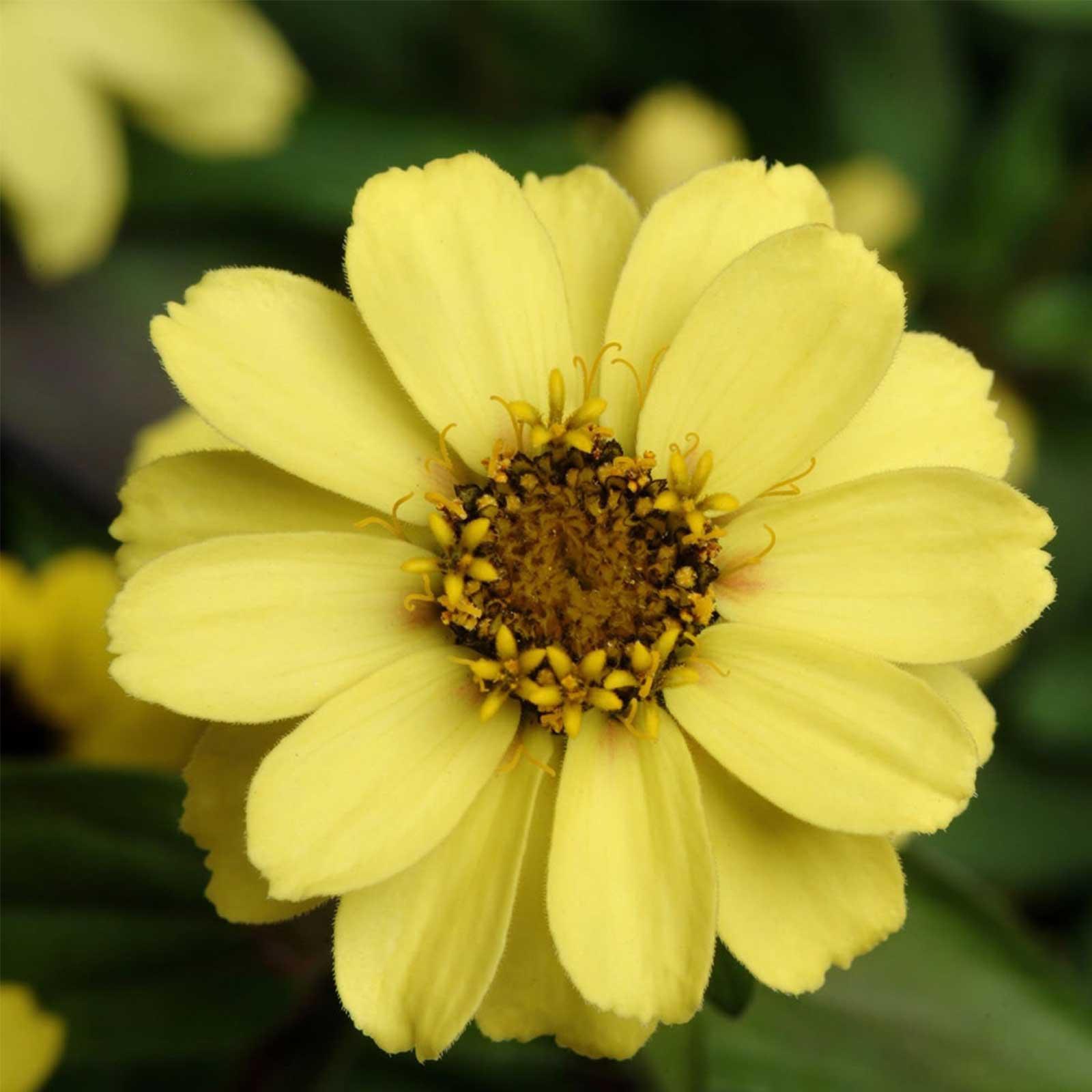 Zinnia Flower Garden Seeds Zahara Series Yellow 500 Seeds Annual