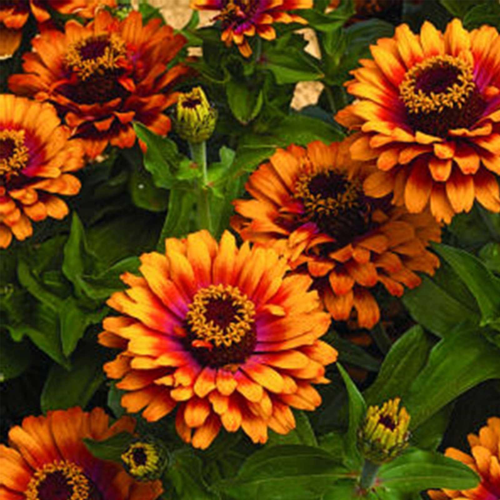 Zinnia Flower Garden Seeds Zowie Yellow Flame F1 100 Seeds